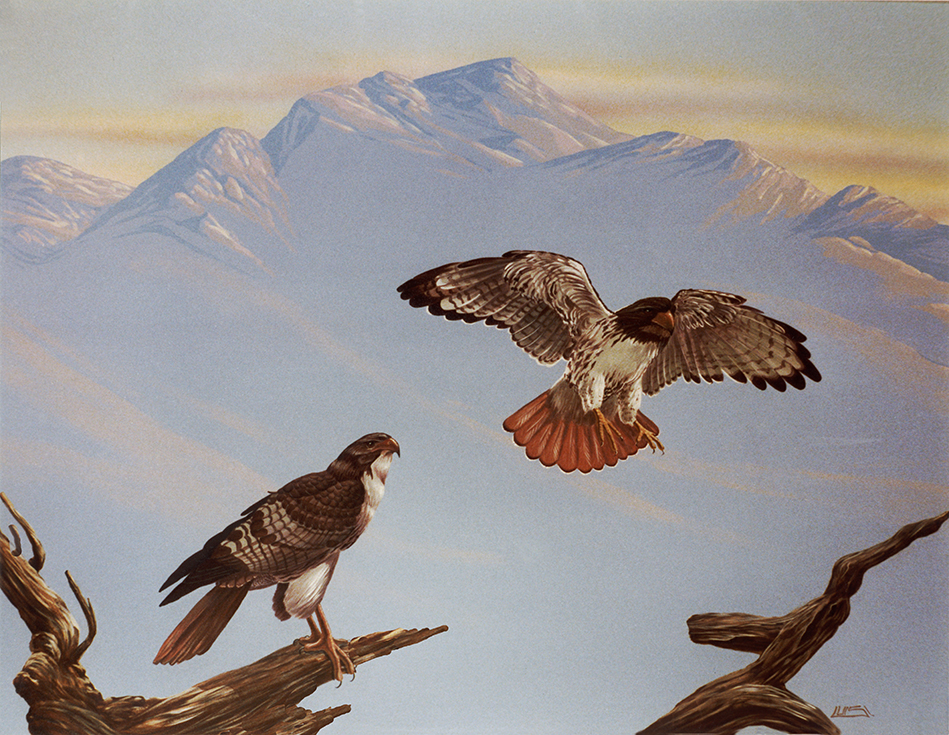 Life-sized Red-tailed Hawks.